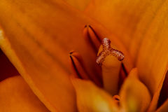 Lily Stamen Head Stock Images