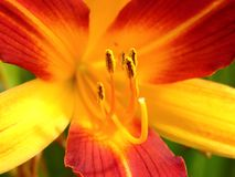 Lily and stamen. Macro photography of bicolor lily with stamen Stock Photos
