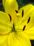 Lily with stamens full of pollen Stock Photo