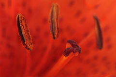 Lily Stamens and Pistil Macro Stock Photography