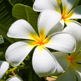 Lily & stars / Frangipani flowers Royalty Free Stock Photography