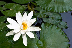lily stawu wody Zdjęcia Royalty Free