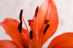 Lily Stigma Royalty Free Stock Images