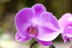 Lily storczykowy kwiat Fotografia Stock