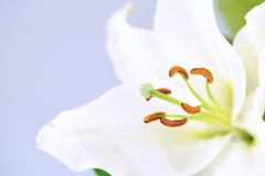 Lily Royalty Free Stock Image