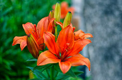 Lily at sunny summer day Royalty Free Stock Photos
