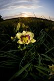 Lily at sunset. A yellow lily in a field at sunset Royalty Free Stock Photo