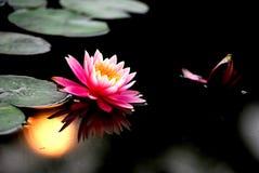 lily sunset wody Obrazy Royalty Free