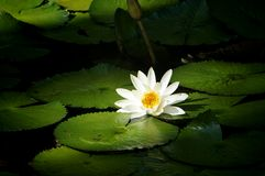 Lily. Surrounded by leaves Royalty Free Stock Photography