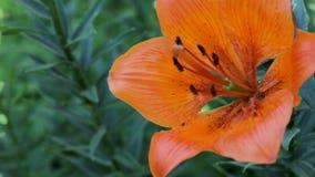 Lily Swinging alaranjada bonita no vento video estoque
