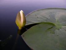 lily tła wody. obraz royalty free