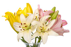 Lily of three colors Royalty Free Stock Image
