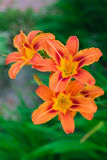 Lily tiger 1 Stock Photography