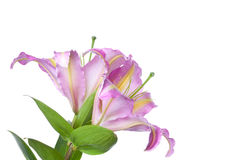 Lily 'Tom Pouce' Royalty Free Stock Photo