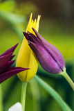 Lily tulips. Group lily tulips on the flowerbed Royalty Free Stock Photography