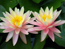 Lily Twins. Pair or Water Lilies Stock Image