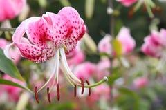 lily tygrys obraz royalty free