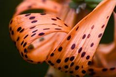 lily tygrys obrazy royalty free
