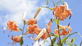 Lily under blue sky Stock Photography