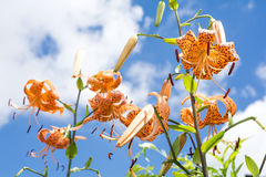 Lily under blue sky Royalty Free Stock Image