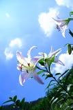 Lily under shiny sun. Lilys under shiny sun and blue sky Royalty Free Stock Photo