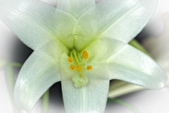 Lily using Focus Stacking Royalty Free Stock Image