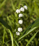 Lily of the valey Royalty Free Stock Photography