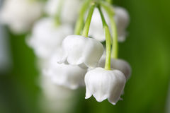 Lily of the valey Stock Photos