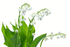 Lily of the valey Royalty Free Stock Image