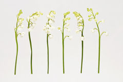 Lily of the Valey Stock Images