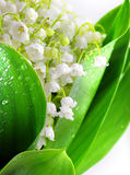 Lily-of-the-valley Lizenzfreies Stockbild