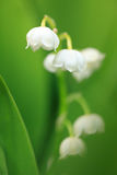 Lily of the valley. A lily of the valley with short dept of field Stock Images
