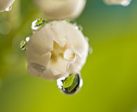 Lily-of-the-valley. With drop of water Stock Images