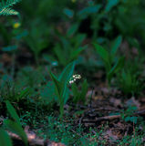 Lily of the valley. Lonely lily of the valley in a densely wooded forest Stock Photography
