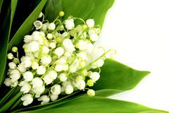Lily of the valley. Beautiful lily of the valley background Stock Photos