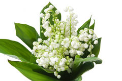 Lily of the valley. Lily-of-the-valley with isolated background Stock Photos