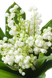 Lily of the valley. Lily-of-the-valley with isolated background Royalty Free Stock Image