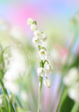 Lily-of-the-valley Stockbild