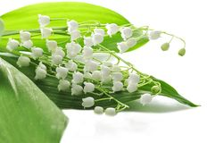 Lily-of-the-valley Stockfotos