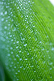 Lily of the valley. With water drops Stock Images