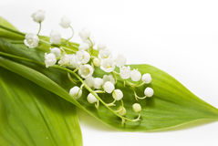 Lily-of-the-valley. White lily-of-the-valley and green leaf Royalty Free Stock Photography