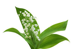 Lily of the valley Royalty Free Stock Photos