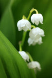 Lily of the valley. Close up of lily of the valley Stock Photos