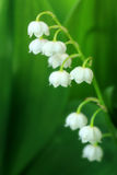 Lily of the valley. Close up of lily of the valley Royalty Free Stock Images