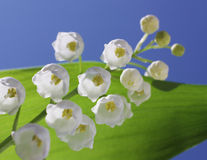 Lily of the valley. On blue sky background Royalty Free Stock Photo