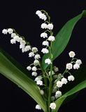 Lily-of-the-valley Lizenzfreie Stockfotos