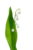 Lily-of-the-valley Fotografie Stock Libere da Diritti