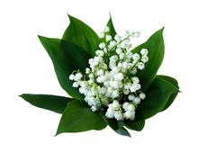 Lily of the valley. On white background Stock Photos