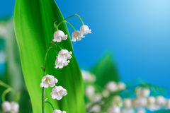 Lily Of The Valley Stock Images