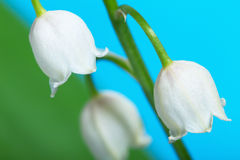 Lily-of-the-valley Royalty Free Stock Photography